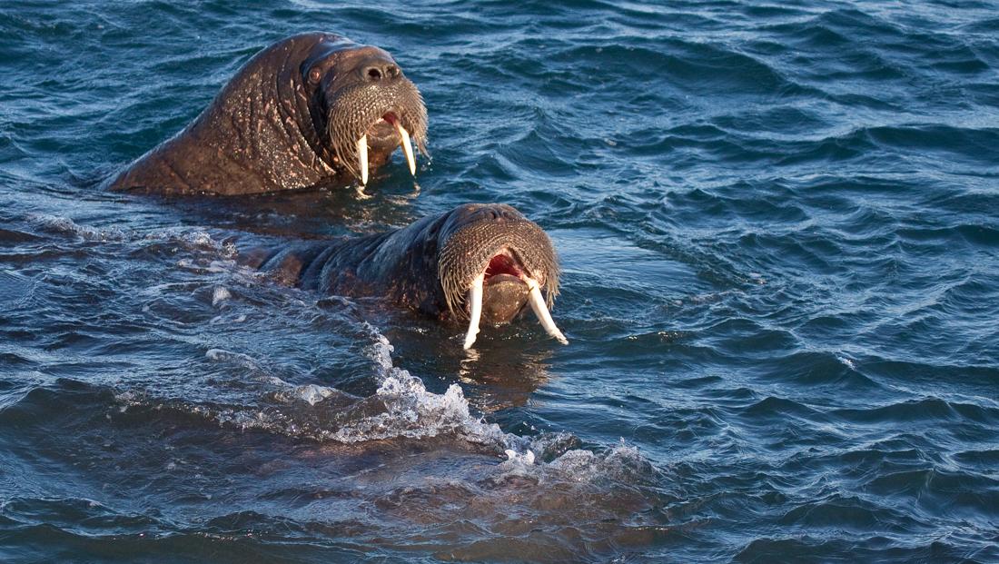 Svalbard Walrus-268